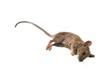 Death Mouse on isolated White Background