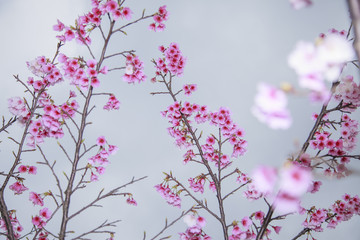 spring is coming,cherry blossoms is blooming.