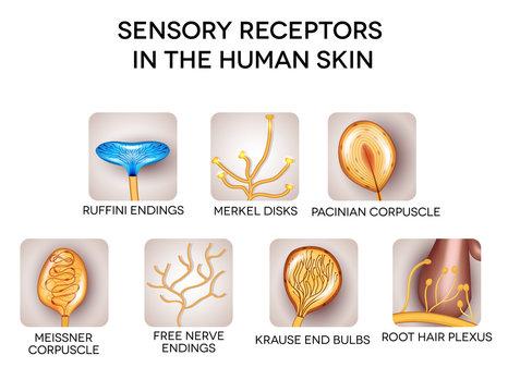 Sensory receptors in the human skin, detailed illustrations.