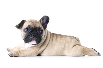 Fototapeten Französisch bulldog French bulldog puppy lying on white background