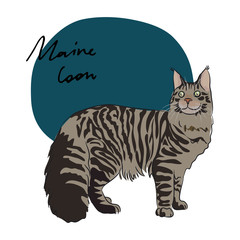 Maine Coon cat, vector illustration