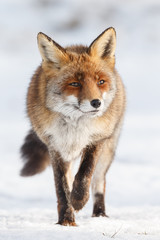 Red fox walks through the snow