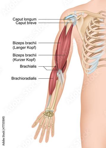 Anatomie Arm, Bizeps brachii\