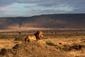 Lion Dominant