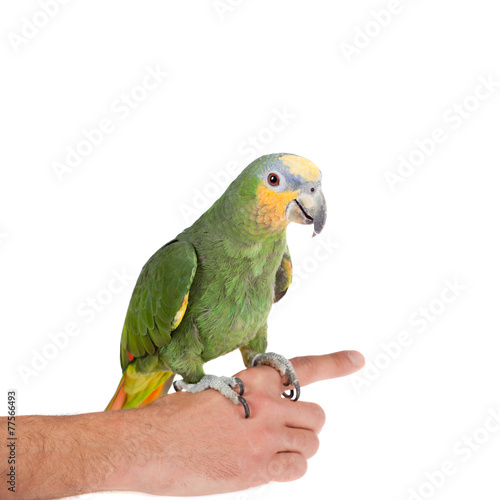 Fototapete Orange-winged amazon on hand of a white background