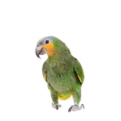 Fototapete - Orange-winged amazon on white background