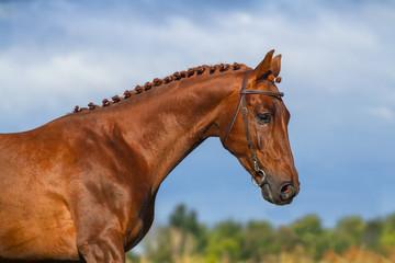 Beautiful red stallion portrait against blue sky