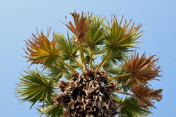 Sugar palm trees on sky background