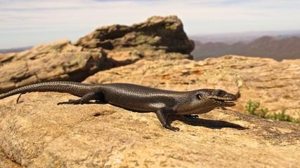 Lizard at Wilpena pound, Australia