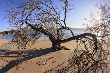 Sardegna. Albero sulla spiaggia sabbiosa