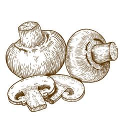 engraving illustration of champignons