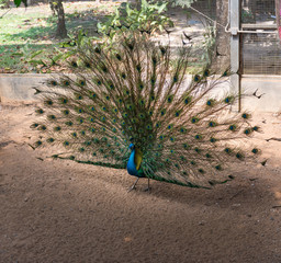 Beautiful indian peacock