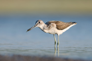 Common Greenshank With Fish