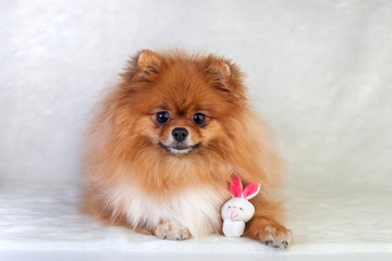 Cute redhead Pomeranian puppy smiling on a white background