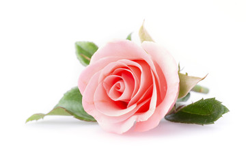 Photo sur Aluminium Roses pink rose flower on white background