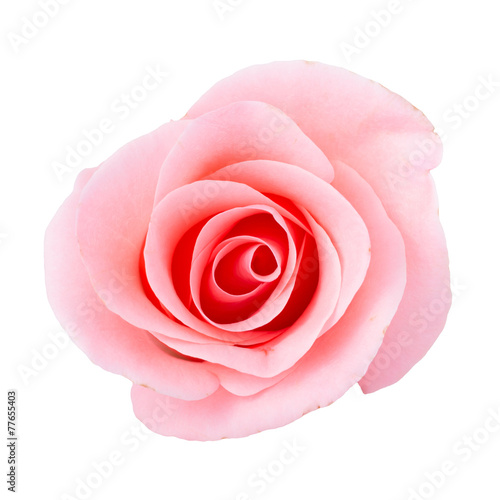Images Of Pink Roses On White Background
