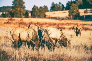 Wall Mural - Elks Gang Meadow