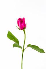 Pink rose .