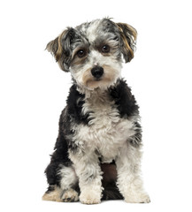 Crossbreed dog (1 year old)