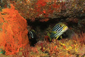 Oriental Sweetlips fish and coral