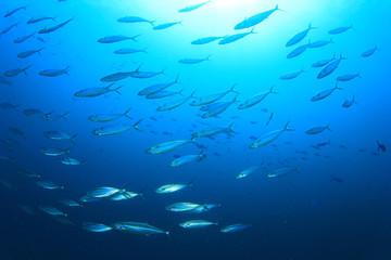 Fototapete - School Mackerel Fish in Ocean