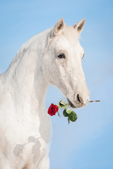 White horse holding a red rose in its mouth