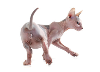 Wall Mural - back of Sphynx Hairless Cat