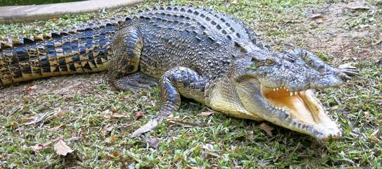 Door stickers Crocodile saltwater crocodile, Queensland, Australia