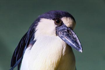 Blue bird portrait