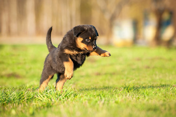 Fototapete - Rottweiler puppy playing on the lawn