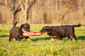 Fototapete - Rottweiler puppies playing with a sneaker