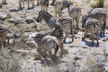 Fighting Zebras at waterhole, Etosha National Park, Namibia, Afr
