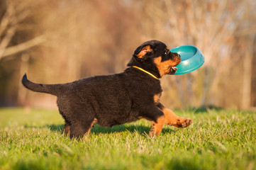 Fototapete - Rottweiler puppy running with a bowl in his mouth