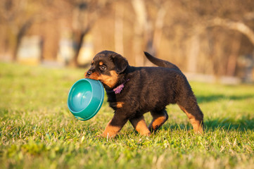 Fototapete - Rottweiler puppy holding a bowl in his mouth