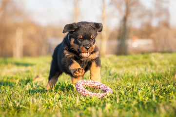 Fototapete - Rottweiler puppy playing with a toy