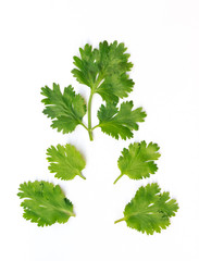 coriander on white background