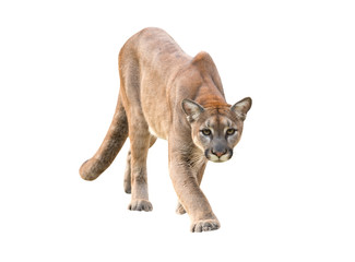 Photo sur Aluminium Puma puma isolated