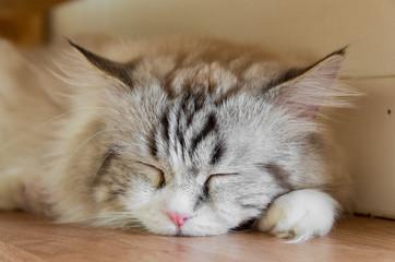 家で眠るトラ猫 顔アップ