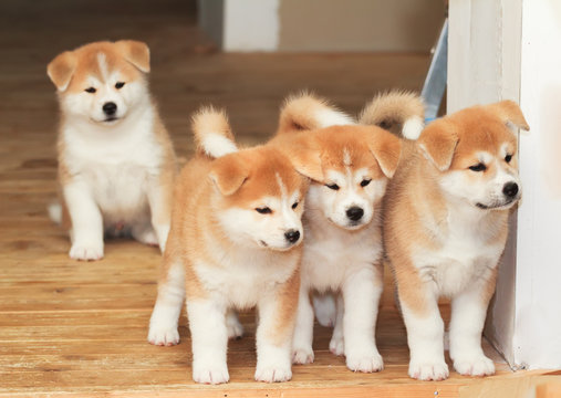 Four puppies of Japanese akita-inu breed dog
