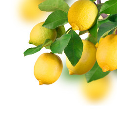 Bunch with lemon fruits