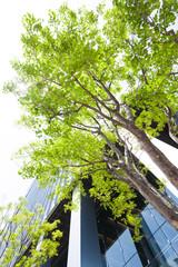 Fototapete -  オフィスビル街の新緑