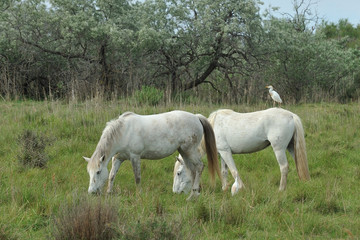 Camargue, Saintes-Maries-de-la-Mer, cavalli
