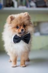 Fototapete - cute puppy Pomeranian in a bow tie