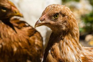 Head brown chicken closeup on blurred background