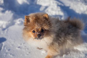 Fototapete - Cute Pomeranian puppy on a walk in the snow on a winter day