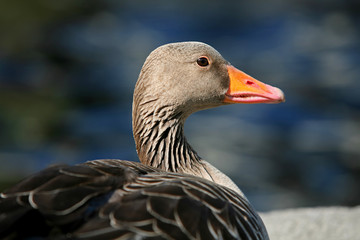 Side view of duck