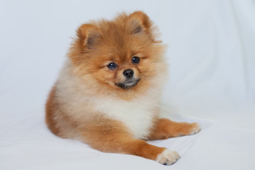 Fototapete - Cute redhead Pomeranian puppy smiling on a white background