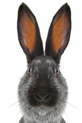 portrait  rabbit
