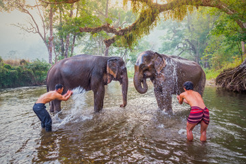 mahouts bathe and clean the elephants in the the river