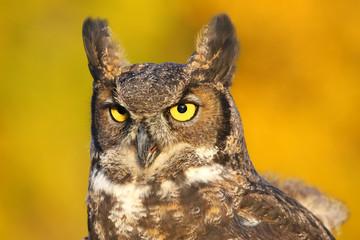 Fototapete - Portrait of Great horned owl